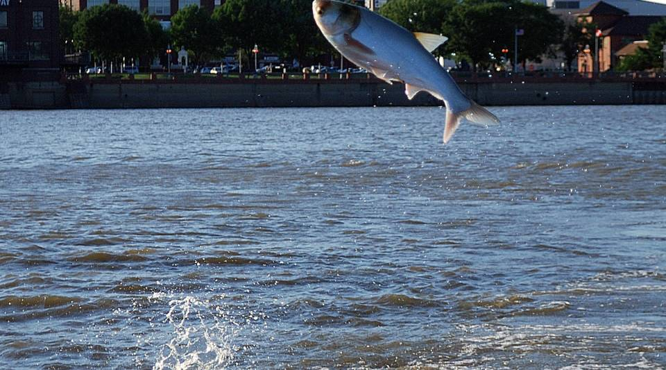 An Asian carp leaps into the air on the Illinois River in Peoria, Ill.