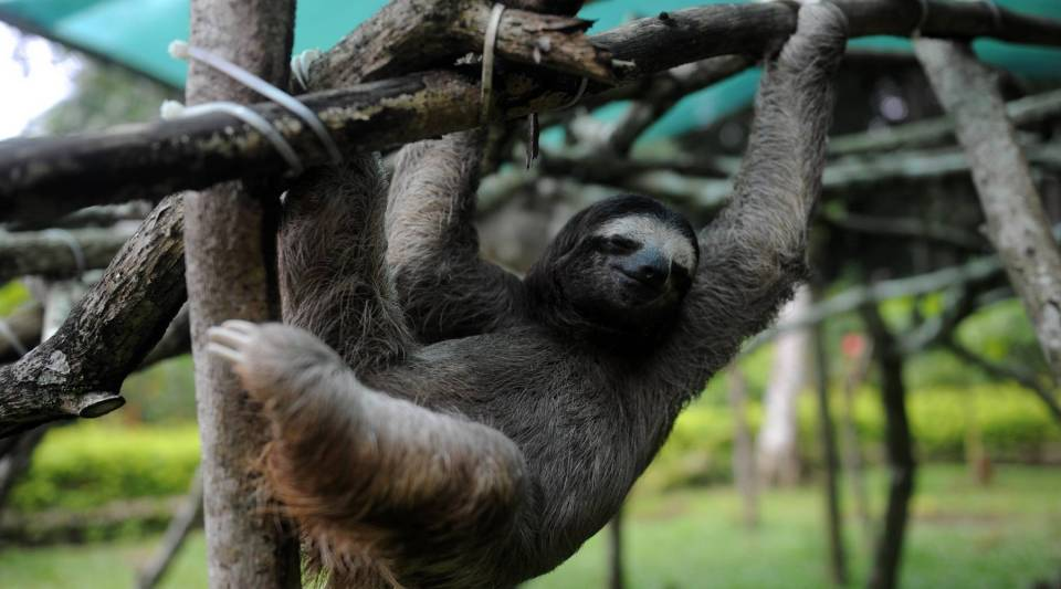 A brown-throated sloth (Bradypus variegatus) plays at the Sloth Sanctuary in Penshurt, some 220 km east of San Jose, Costa Rica, on August 30, 2012.