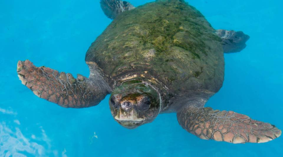 A loggerhead sea turtle is seen at the Tamar Project (The Brazilian Sea Turtle National Conservation Program) headquarters in Praia do Forte, Bahia state, Brazil.