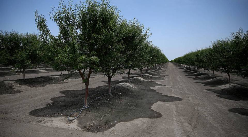 Almond trees in the central valley of California.