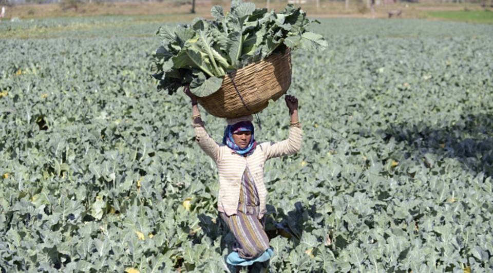 An Indian farmer lifts a basket loaded with cauliflowers in a field in Rasalpur village.