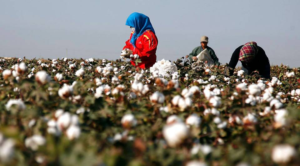 Cotton pickers harvest a crop of cotton at a field in Hami, in China's far west Xinjiang region on September 20, 2011, The Chinese government planned a market-control strategy designed to support cotton farmers, with a sudden decline in export orders for China-made textiles and garments which in turn affect domestic cotton prices. Now they have too much.