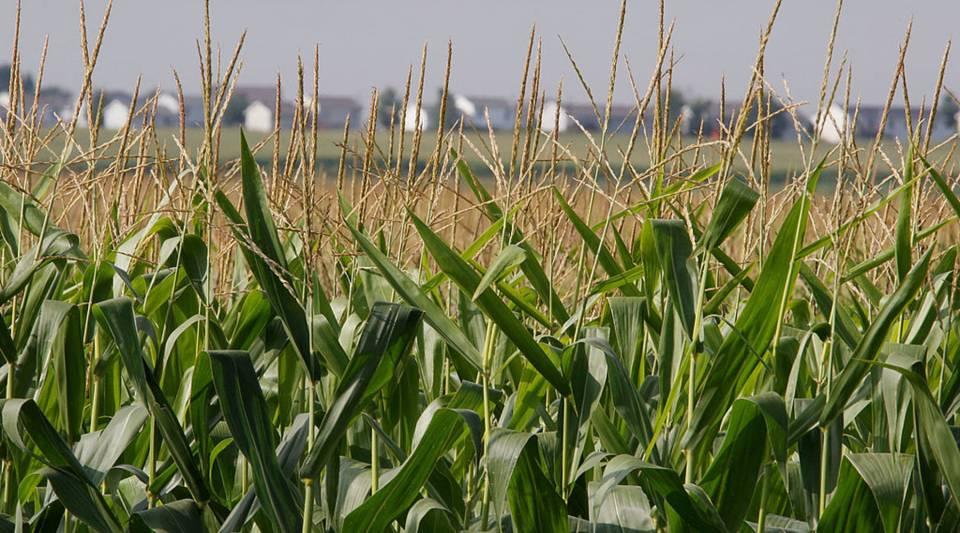 Corn grows in a field near Roscoe, Illinois.