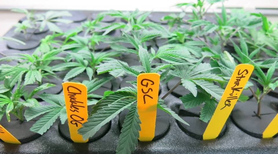 Well-trained plant breeders can now entertain a new calling: marijuana. Breeding programs, like this one at The Farm in Boulder, Colo., are becoming a significant commercial enterprise.