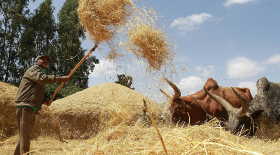 A farmer winnows a dried teff crop to separate seeds from stalks at a village in Ethiopia.