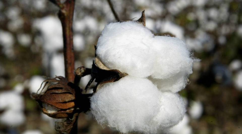 Cotton producers in the U.S. have had a rough time these past few years.