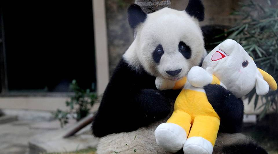 Giant panda 'Pan Pan' holds a mascot of the 16th Asian Games, at a zoo in Fuzhou, south China's Fujian province on Nov. 12, 2010, to celebrate the opening ceremony of Guangzhou Asian Games.