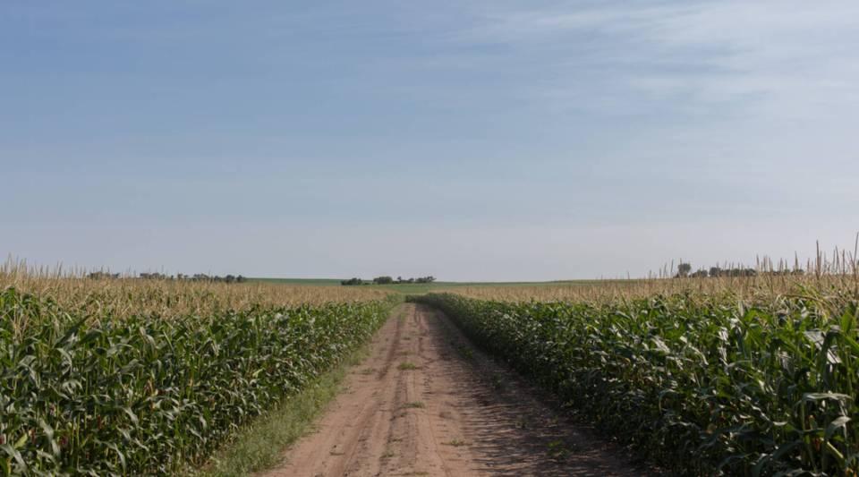 A corn field in South Dakota.