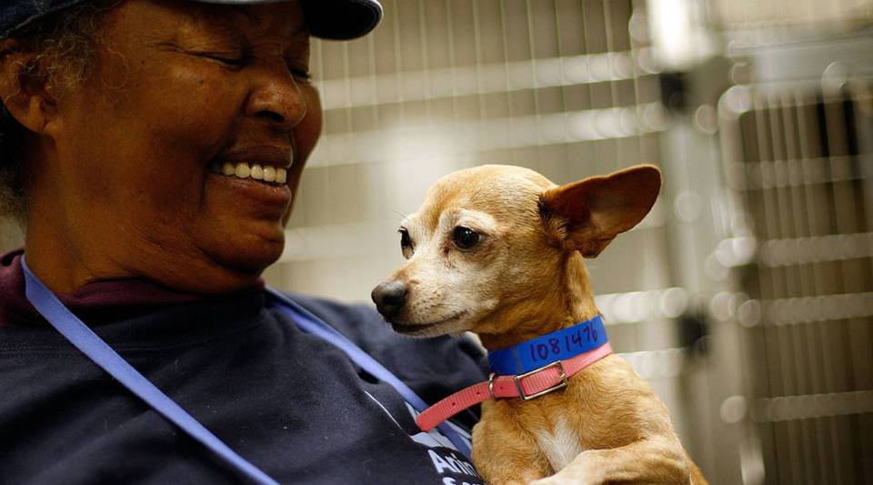 A chihuahua awaits adoption at a Los Angeles Department of Animal Services shelter.