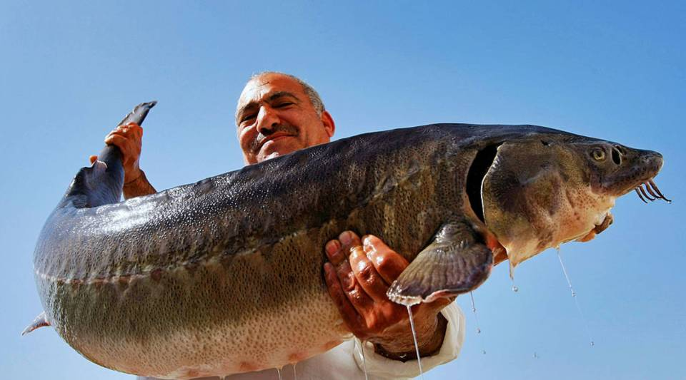 Freshwater sturgeon can be found around the world and can weigh up to 100 pounds.