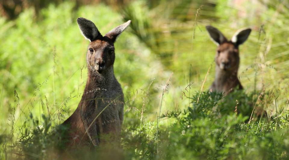 Watch out for the kangaroos.