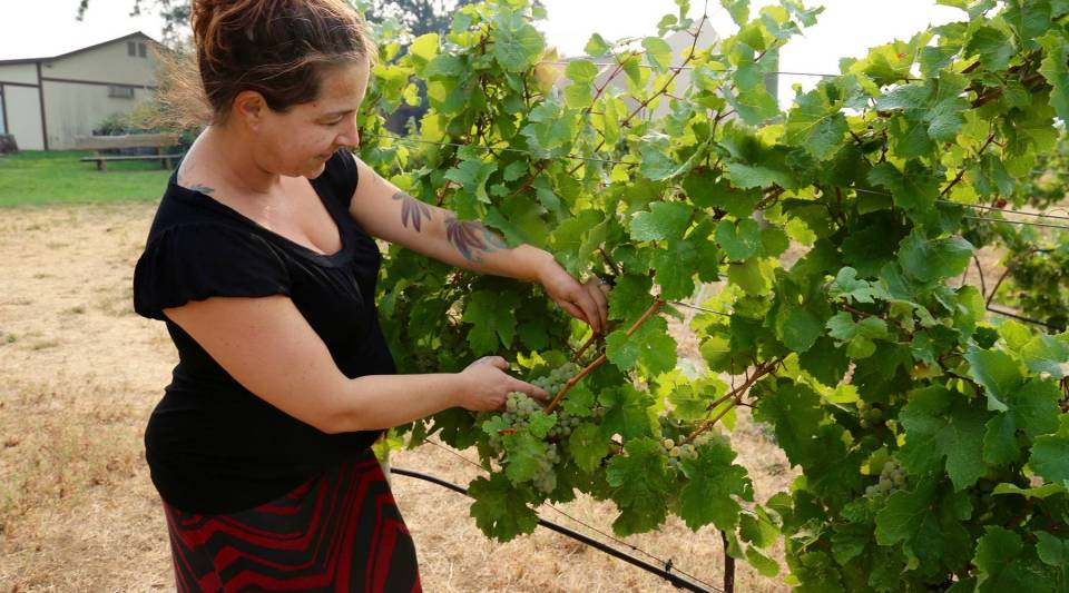 Jocelyn Bentley-Prestwich, the marketing manager at Cathedral Ridge Winery in Hood River, Oregon, tests the ripeness of the vineyard's Rieslinggrapes.