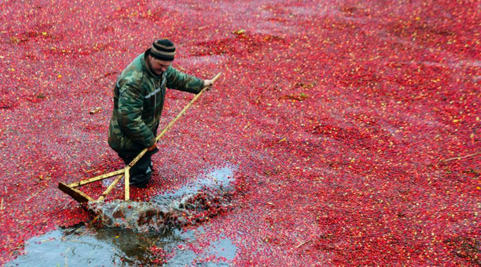 Cranberry bogs must be intentionally flooded to easily collect the fruit.