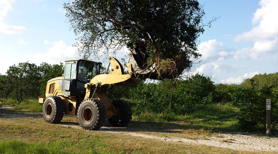 Thousands of trees were uprooted by Hurricane Irma in Everglades Harvesting's 500-acre orange grove near Naples. The trees are being dumped on burn piles to make room for costly replanting. This year's crop is mostly a loss, says Paul Meador, a fourth-generation citrus grower.