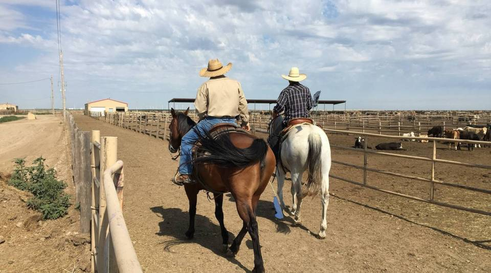 """Two Spanish-speaking cowboys check cattle at one of the largest feedlots in the U.S., located in southwest Kansas. The owner of the feedlot would like federal immigration reform to allow for a """"legal presence"""" for undocumented workers."""