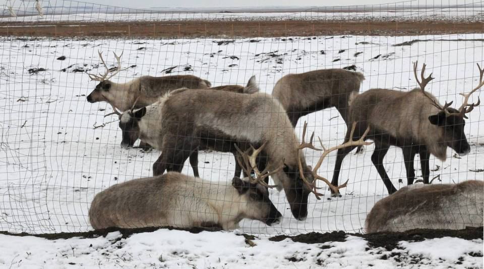 When Meshik Farm reindeer are not grazing on the tundra, they live in a pen the size of football field.