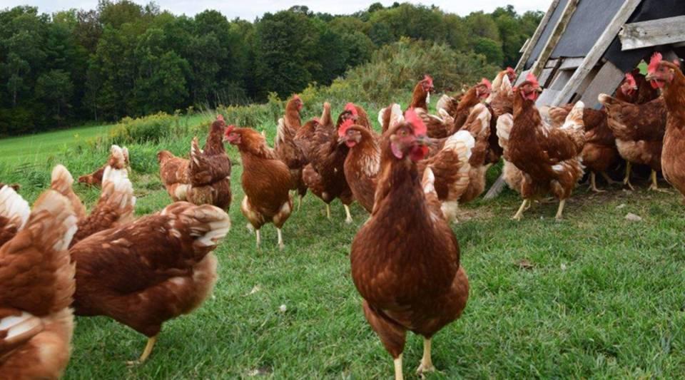Chickens congregate on a New Hampshire farm.
