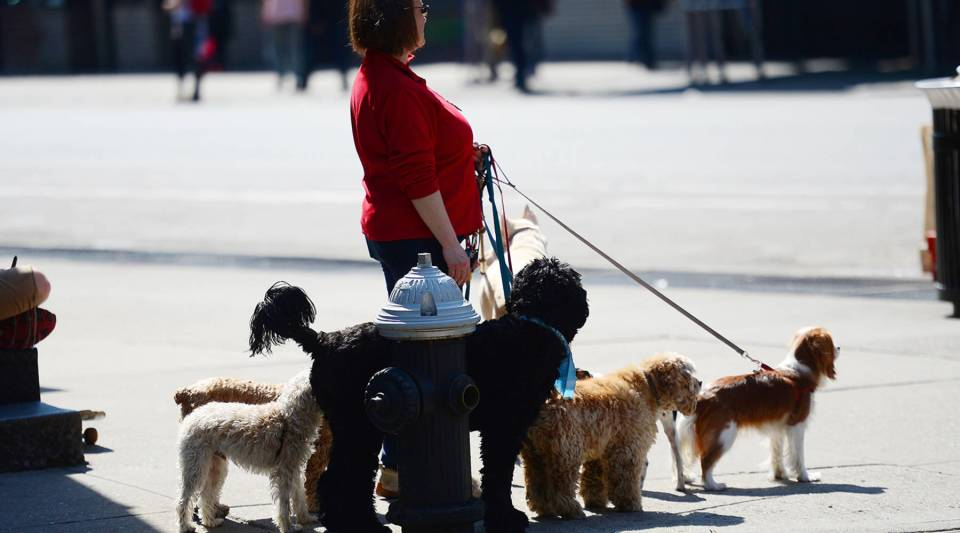 A dog walker awaits dogs to go on a crosswalk in New York, April 8, 2013.