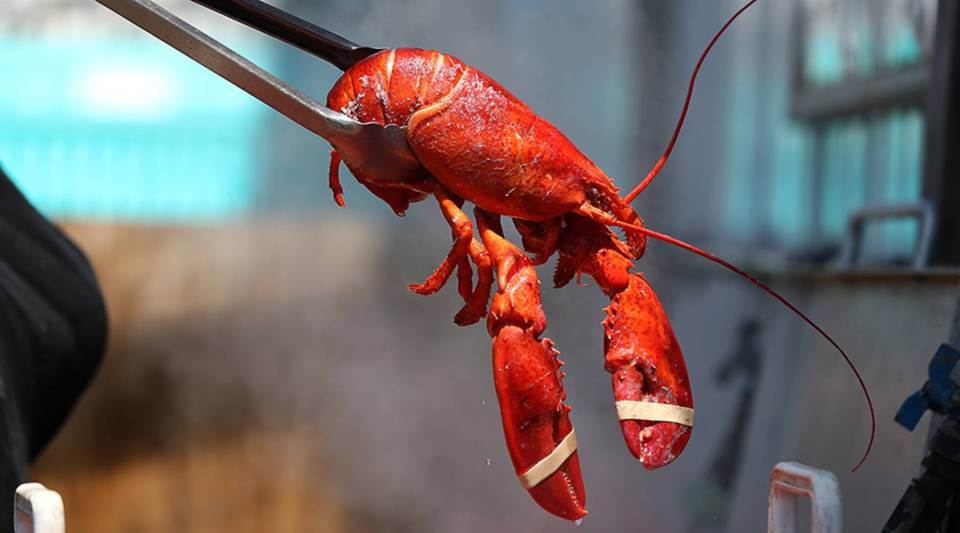 A freshly cooked lobster is removed from a pot in Portland, Maine.