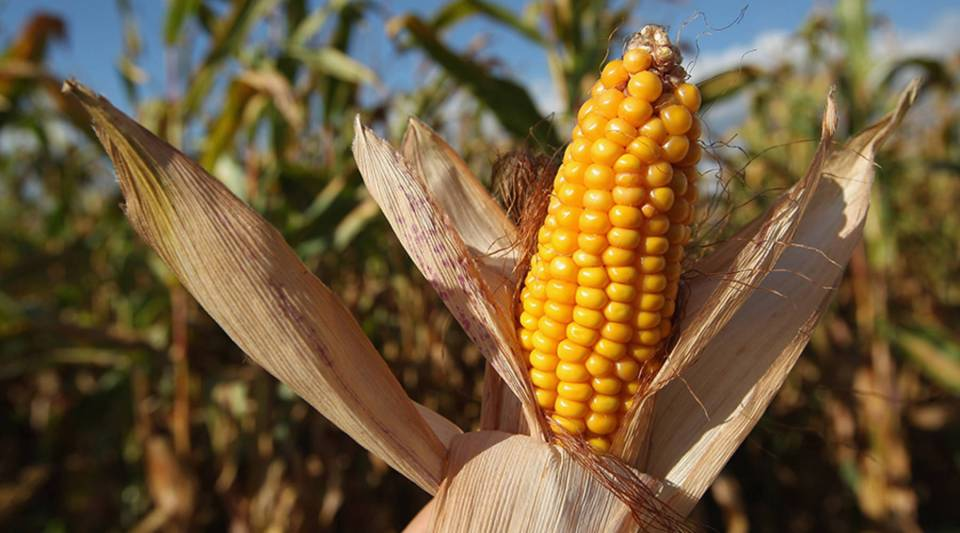 The photographer holds an ear of corn he found on the ground next to a corn field during harvest on September 13, 2012 near Teltow, Germany.