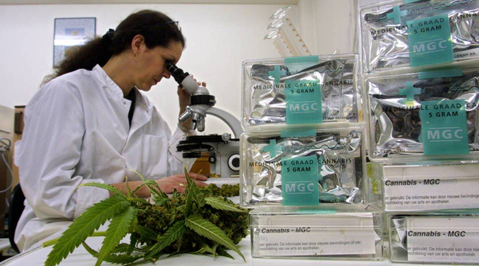 An assistant studies cannabis leaves in the Maripharma Laboratory in Rotterdam, Netherlands, in 2002.