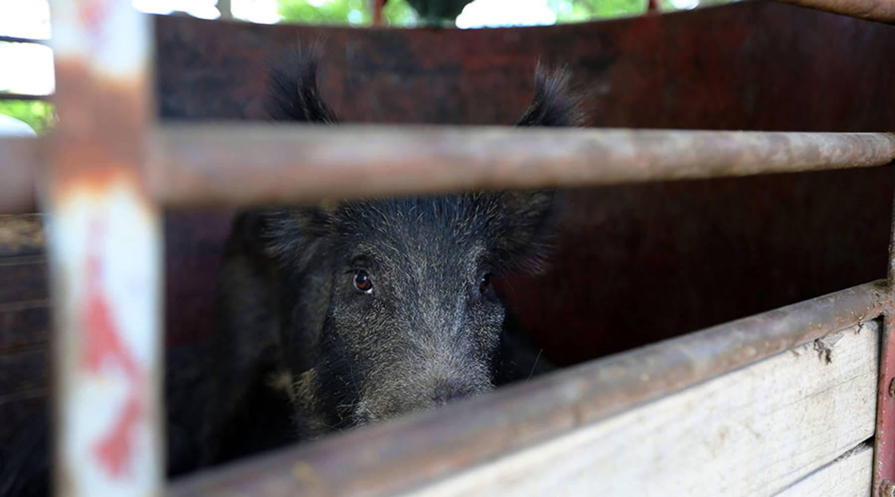Feral swine,