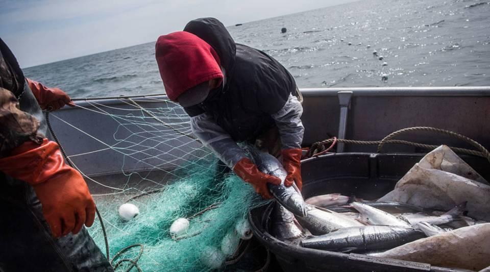 Salmon fishermen hauling in salmon on July 1, 2015 in Newtok, Alaska.
