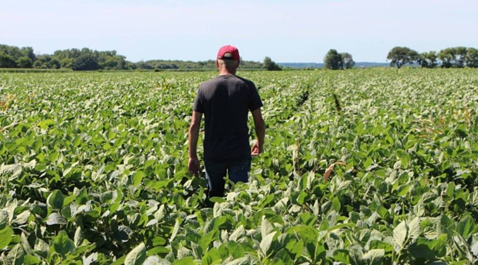 Farmer Terry Davidson walks through his soy fields July 6, 2018, in Harvard, Illinois.