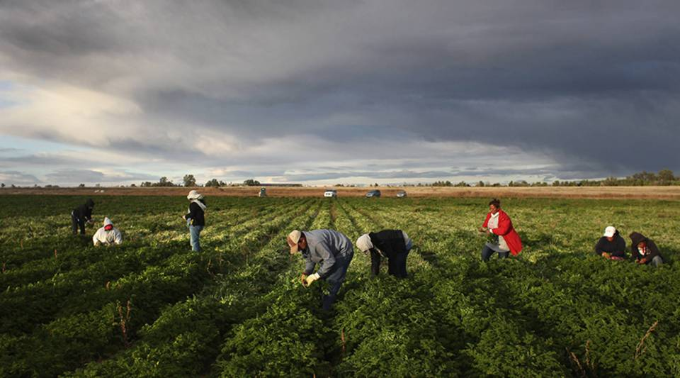Mexican migrant workers harvest organic parsley at Grant Family Farms on October 11, 2011 in Wellington, Colorado.