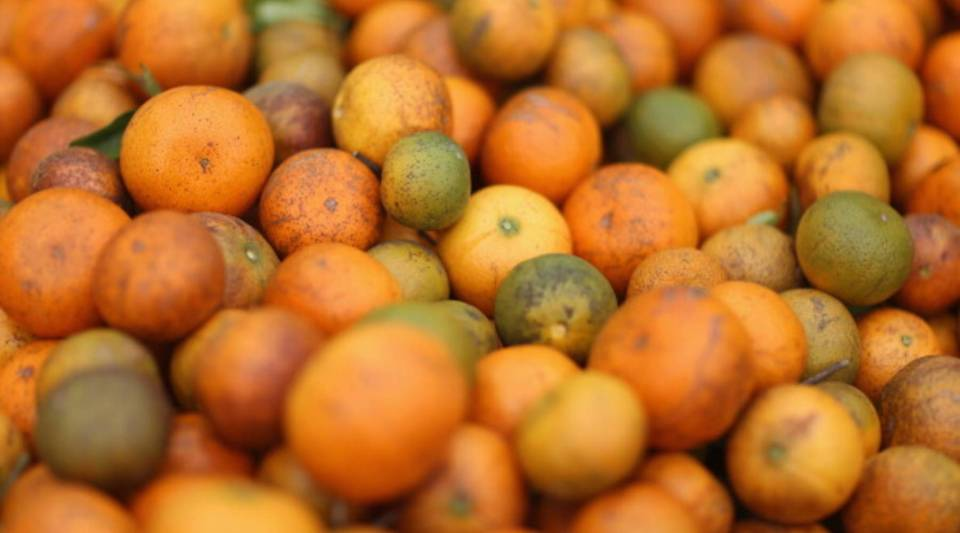 Hurricanes are added stress on citrus farmers in Florida who already battle greening, a disease that effects their trees and causes bitter fruits to fall off of them prematurely.