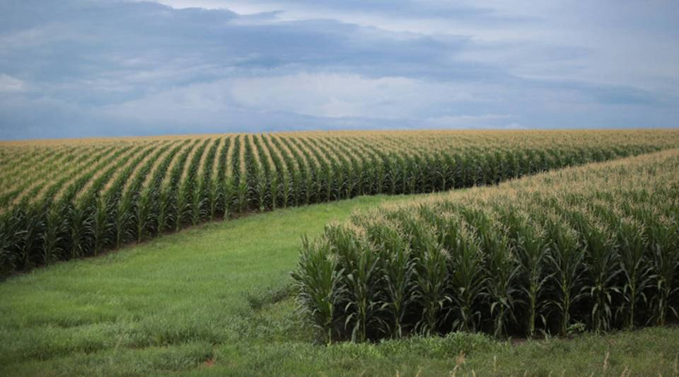Corn grows on a farm near Tipton, Iowa.