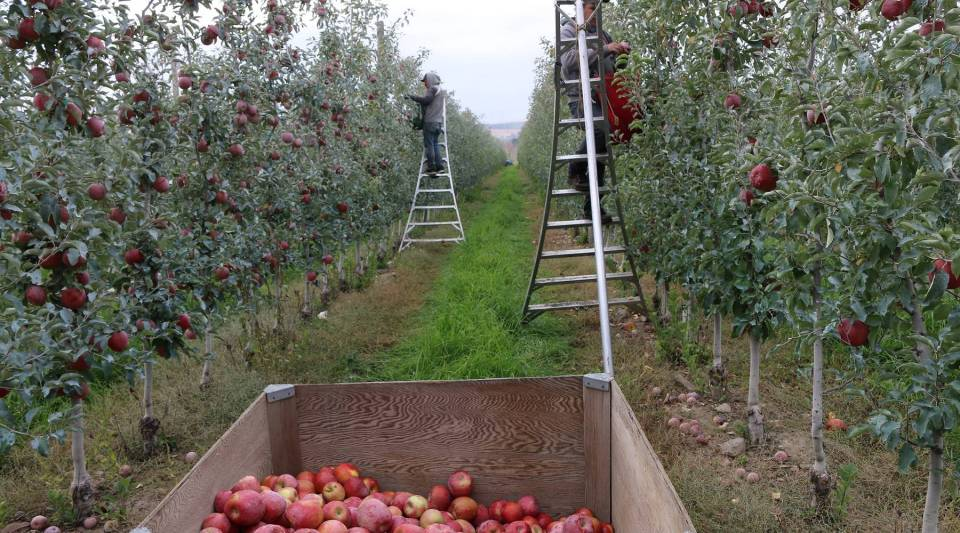 Workers harvest apples at Loftus Ranches in Yakima, Washington, in 2016