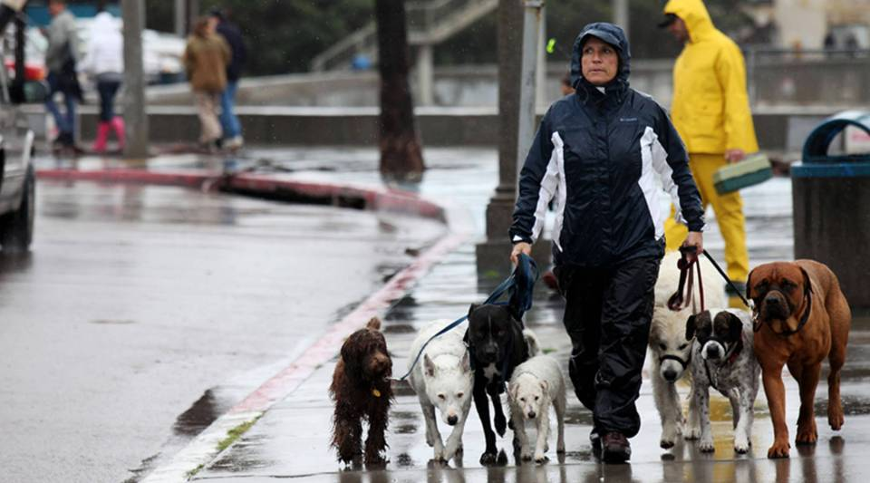 Dog Walker Dorothy Agius-Bennett takes her pets for a stroll during a powerful rainstorm on December 21, 2010 in San Diego, California.