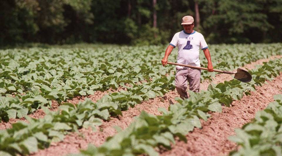 A tobacco field in North Carolina. China is the largest consumer of the state's tobacco.