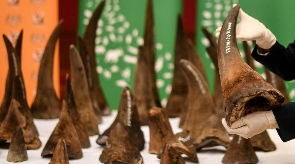 A Malaysian Wildlife official displays seized rhino horns and other animal parts at the Department of Wildlife and National Parks headquarters in Kuala Lumpur on August 20, 2018.