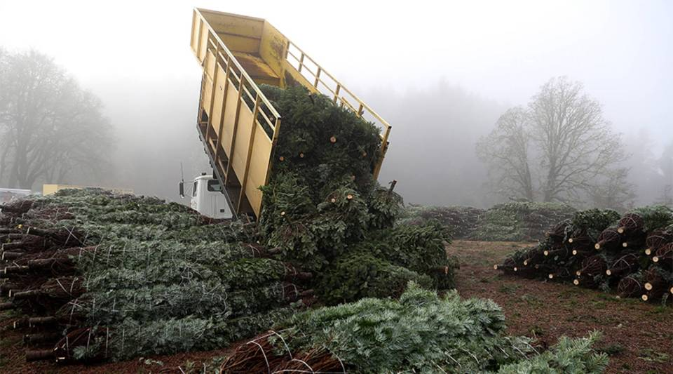 A truck drops a load of freshly harvested Christmas trees at a tree farm in Philomath, Oregon, in 2017.