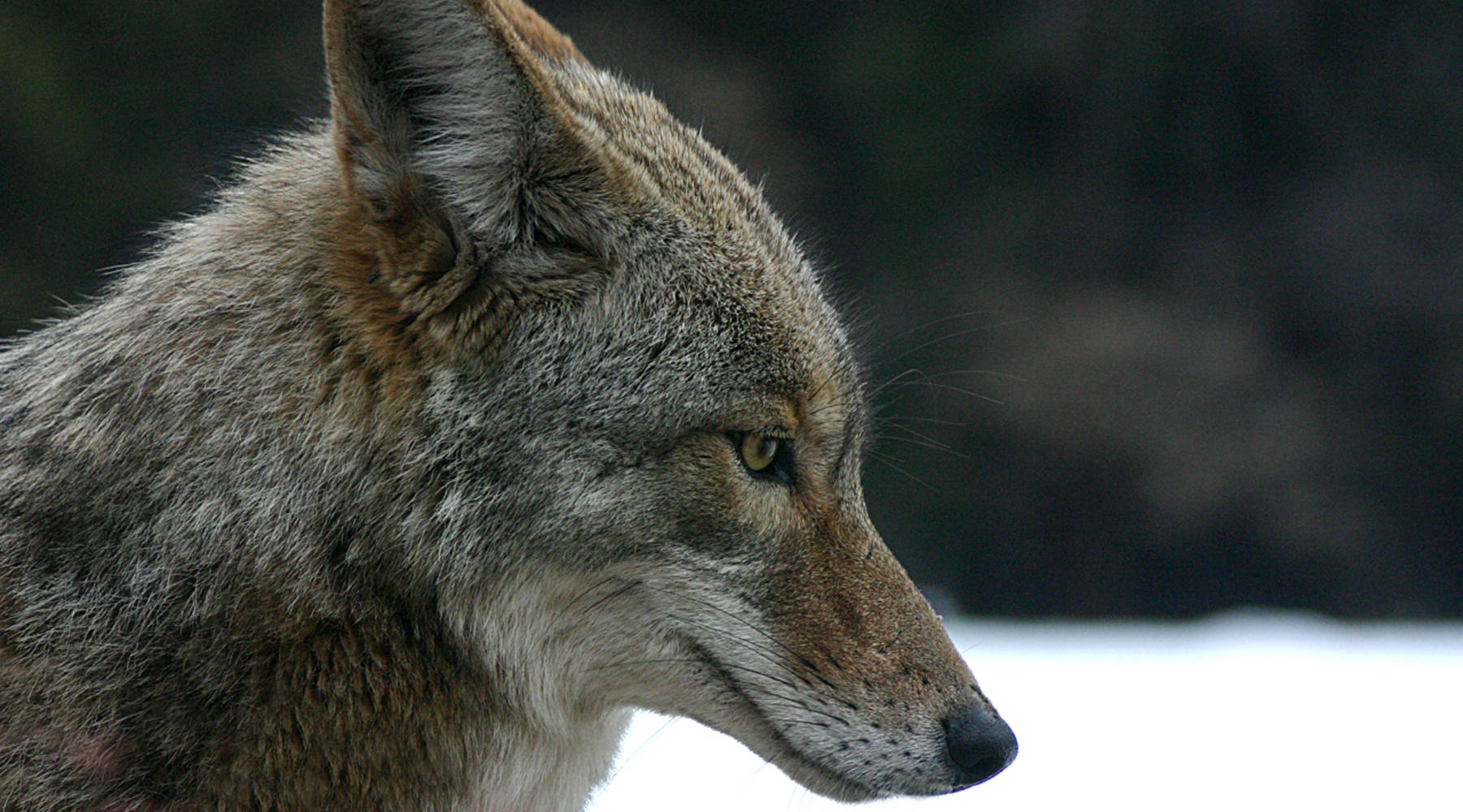 Why coyote pelts are in high demand - Marketplace
