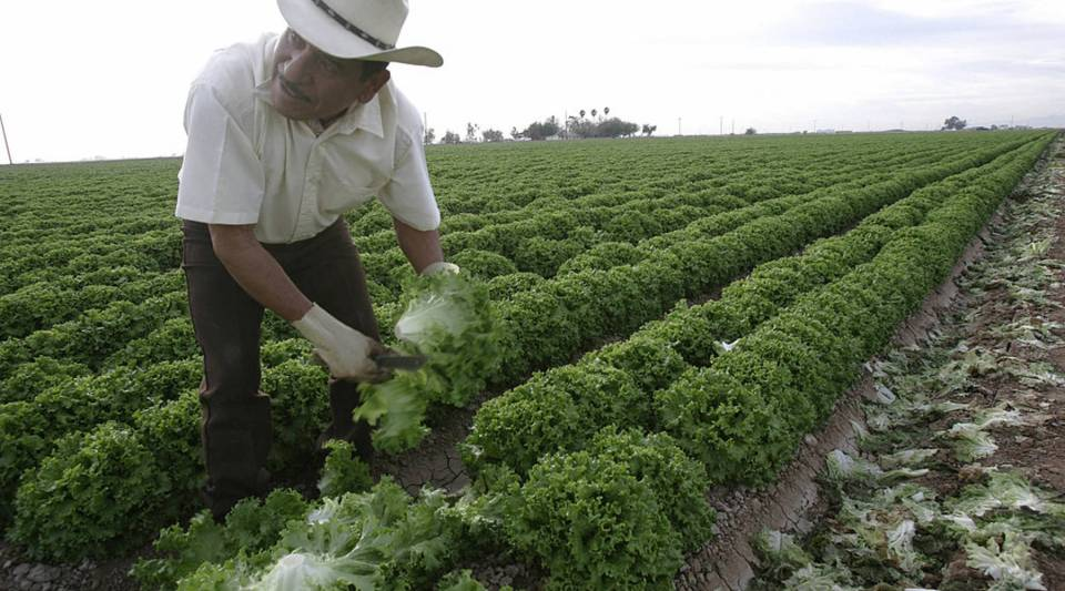 A farm worker harvests lettuce in a farm field near have the border town of Calexico, California.