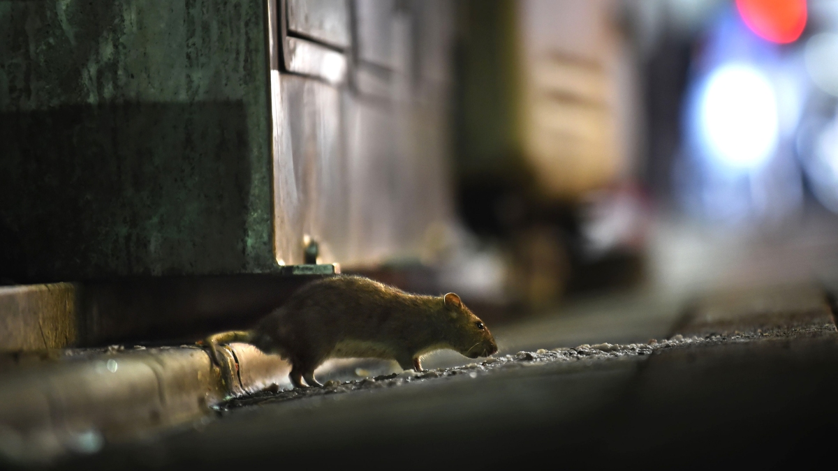 New York City is using a new tool to deal with its rat problem - Marketplace