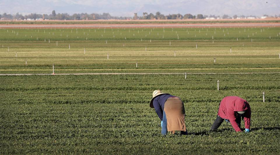 Farmworkers pull weeds in a spinach field near El Centro, California, in January.