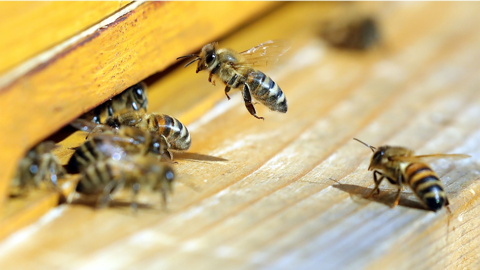 Honey bees fly to their beehive in Berlin, Germany in April.