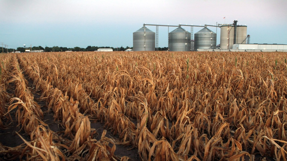 A field of corn sits next to an ethanol plant in Palestine, Illinois.