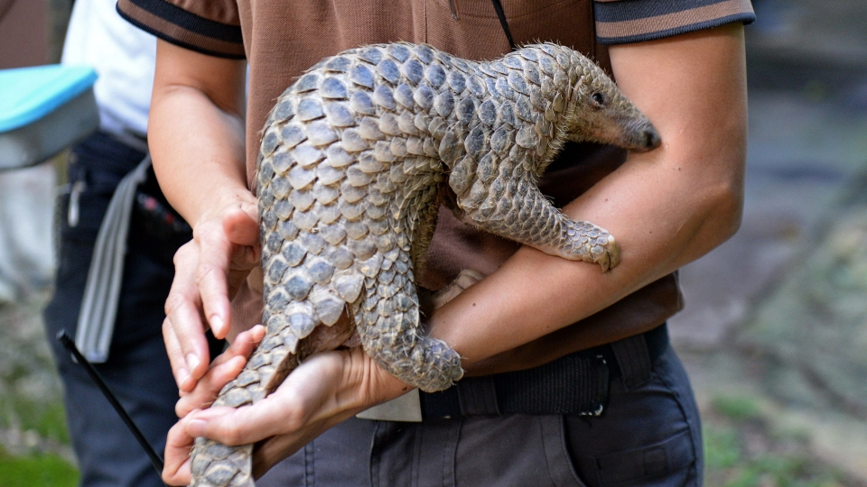 A baby Sunda pangolin nicknamed 'Sandshrew' is taken out for feeding by Serena Oh, assistant director and head vet of Veterinary Services in Wildlife Reserves Singapore, at the Singapore Zoo on June 30, 2017. Sandshrew was brought to the Wildlife Health and Research Centre on January 16, reportedly found stranded in the Upper Thomson area by a member of the public. Sunda pangolins are listed as critically endangered by the International Union for Conservation of Nature (IUCN).
