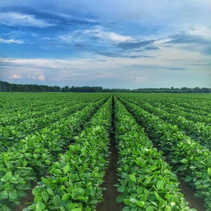 Soy crops growing on Victoria Darden's farm in 2018