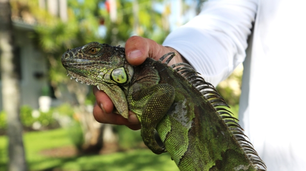Catching iguanas is big business in South Florida - Marketplace
