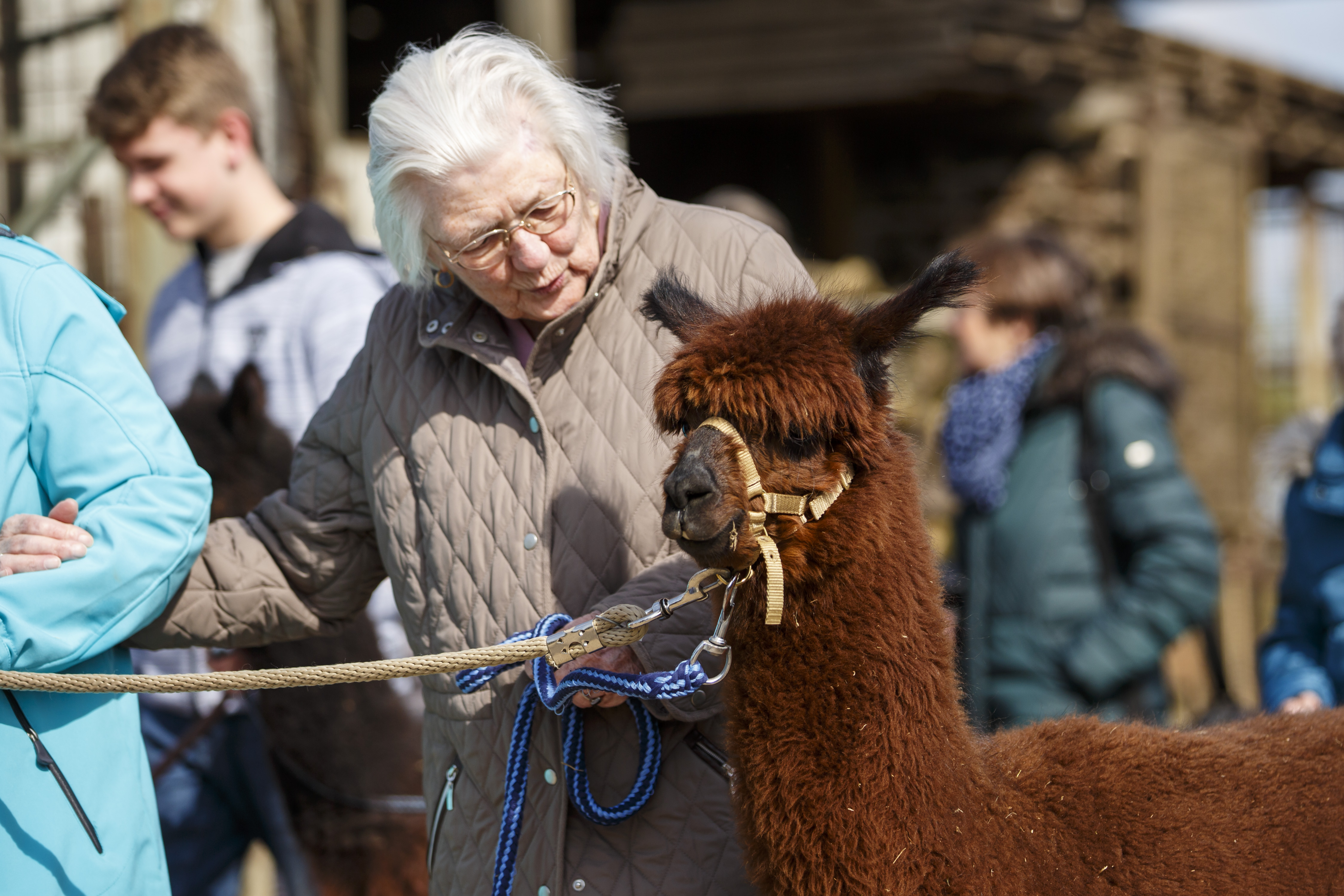 A dementia patient spends the day at an alpaca farm as therapy.